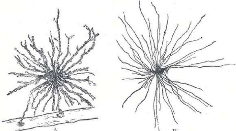 Labobio24 cellules-gliales